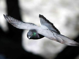 Flying homing pigeon