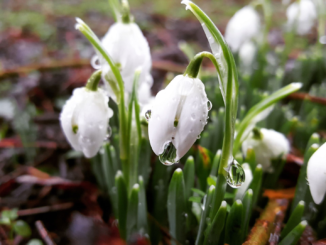 Snowdrops close up (winning photo)