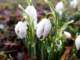 Snowdrops close up (winning photo)