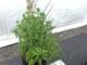 A pot of herb plants with a first place card.