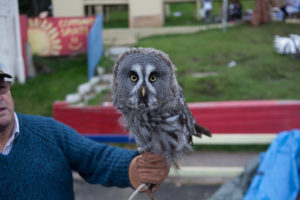 A white and grey small owl