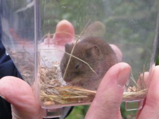 A vole is held in a clear plastic container, held in an unseen persons hand.