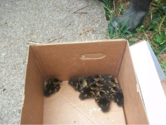 Ducklings in a box