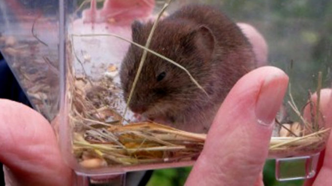 Vole photo by Peter Bull