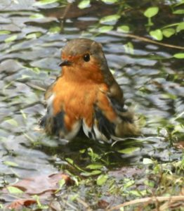 Robin having a bird bath