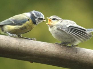 Blue Tit Feeding a baby Blue Tit