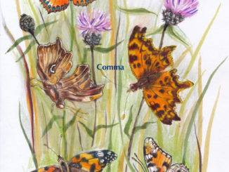 Butterflies illustrations by Penny Philcox
