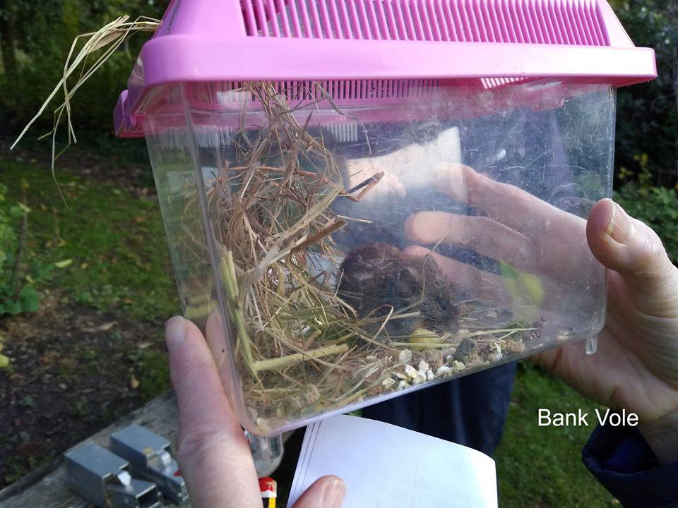 Captured bank vole