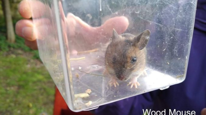 Wood mouse caught on Parkwood Springs October 2019.