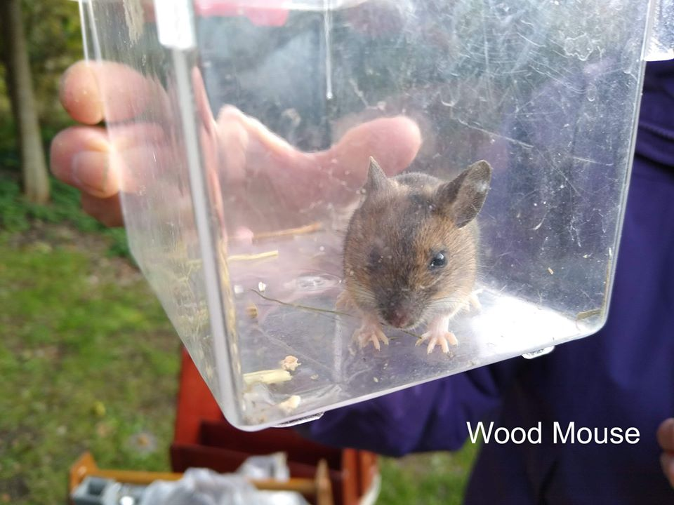 Captured wood mouse