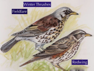 Winter thrushes illustration