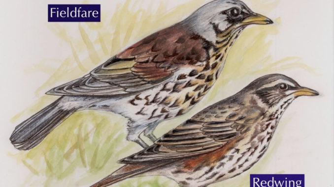 Winter thrushes illustration