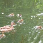 Crabtree Ponds early ducks