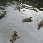 Crabtree Ponds later ducks
