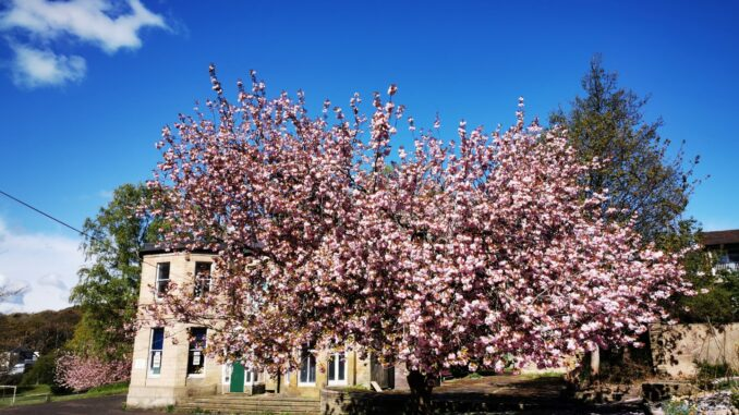 Abbeyfield House and cherry blossom