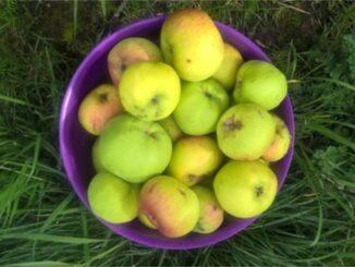 Apple Day apples